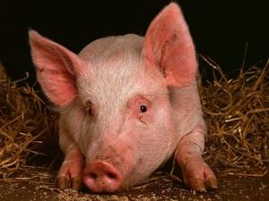 Карантин по африканской чуме свиней снят в Богородском районе