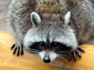Енот покусал сотрудницу нижегородского контактного зоопарка