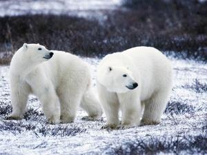 Белые медведи окружили российское село