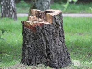 Сосновский лесоруб пойдет под суд за три дерева