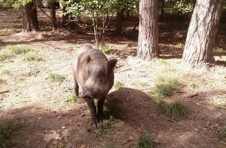 Зараженные африканской чумой свиней кабаны обнаружены в Нижегородской области - фото 1